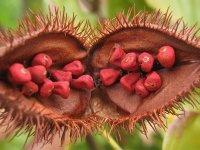 Annatto por - a természetes piros ételszínezék