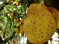 Jackfruit szirupban konzerv, 565g