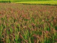 Rizs - Vörösrizs, Thaiföldi 1 kg